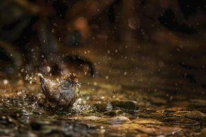 Pěnice černohlavá (Sylvia atricapilla)
