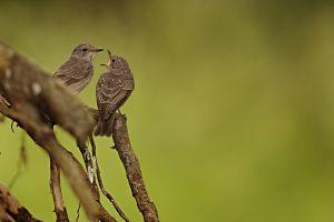 Lejsek šedý (Muscicapa striata)