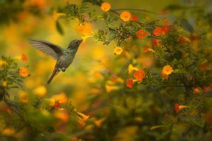 Kolibřík rezavoocasý (Amazilia tzacatl) Rufous-tailed Hummingbird