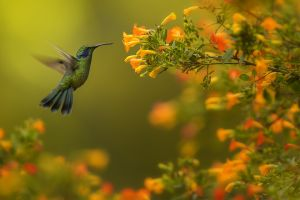Kolibřík zelený (Colibri thalassinus) Green Violet-ear
