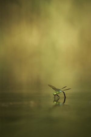 Šídlo královské (Anax imperator) – Emperor dragonfly