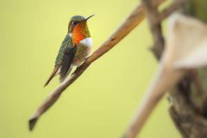 Kolibřík jiskřivý (Selasphorus scintilla) Scintillant Hummingbird