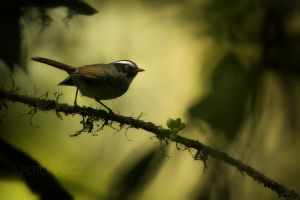 Lesňáček černolící (Basileuterus melanogenys) Black-cheeked Warbler