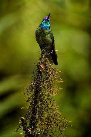 Kolibřík skvostný (Eugenes fulgens) Magnificent Hummingbird