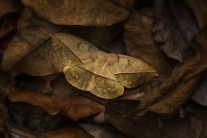 Dead Leaf Moth (oxytenis modestia)